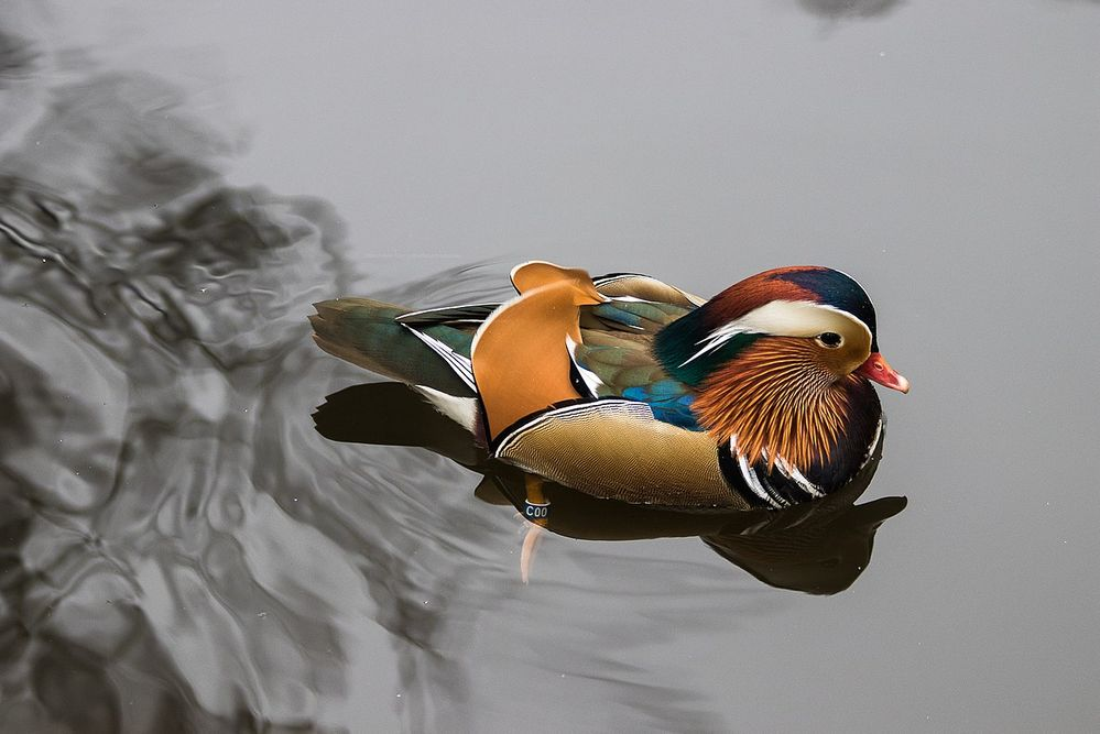 1280px-Buiobuione-mandarin-duck-warsaw.jpg