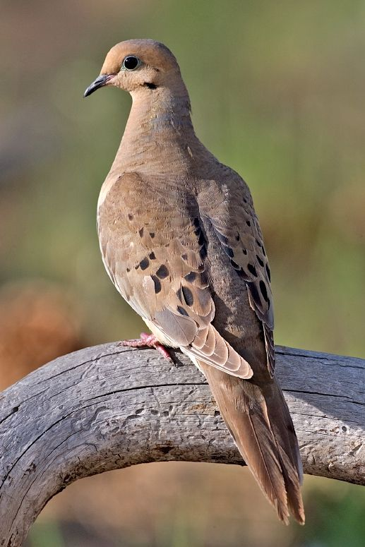 Mourning_Dove_2006.jpg