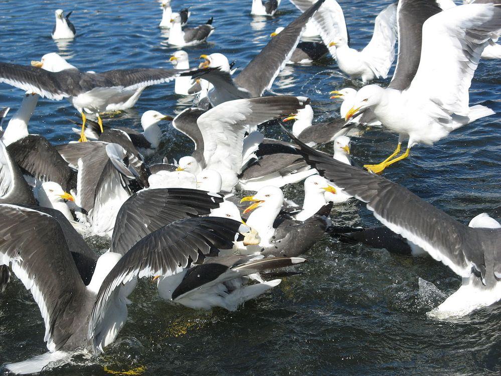 Lesser_Black-backed_Gulls.jpg