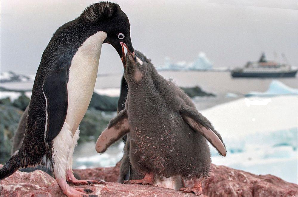 1280px-Antarctic_adelie_penguins_(js)_21.jpg