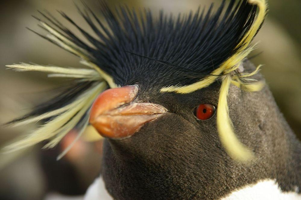 1280px-Falkland_Islands_Penguins_88.jpg