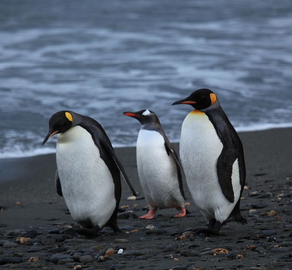 1280px-Penguins_walking_-Moltke_Harbour,_South_Georgia,_British_overseas_territory,_UK-8.jpg