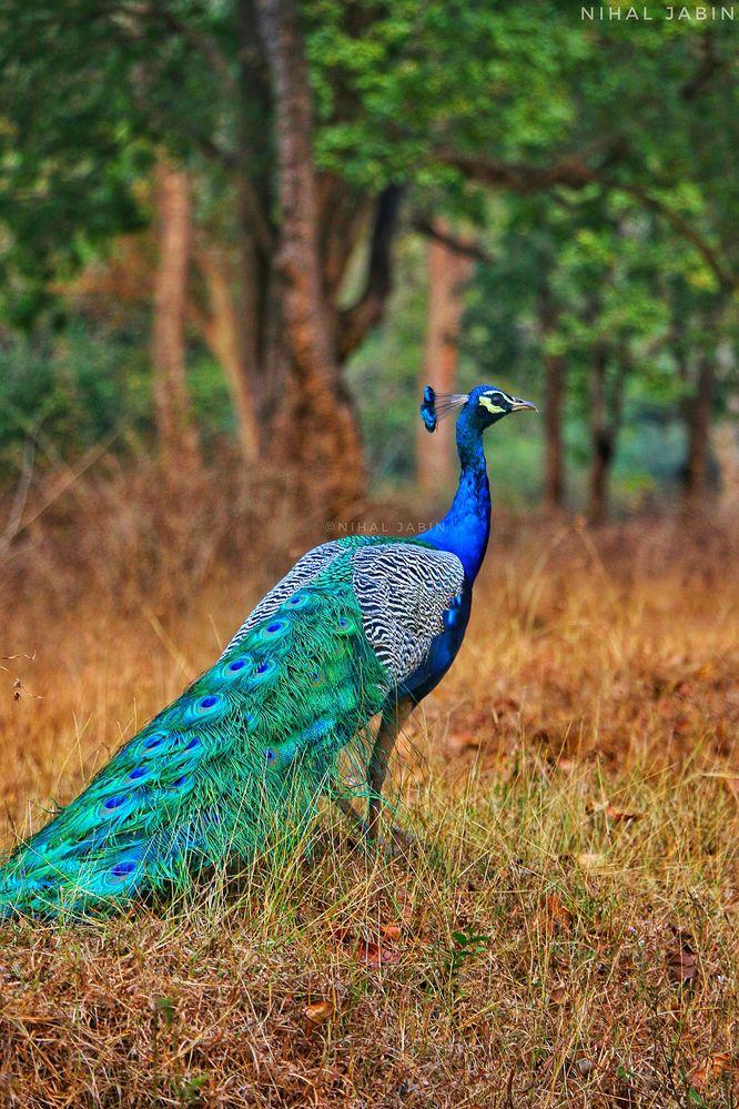 1280px-Peacock_by_Nihal_jabin.jpg