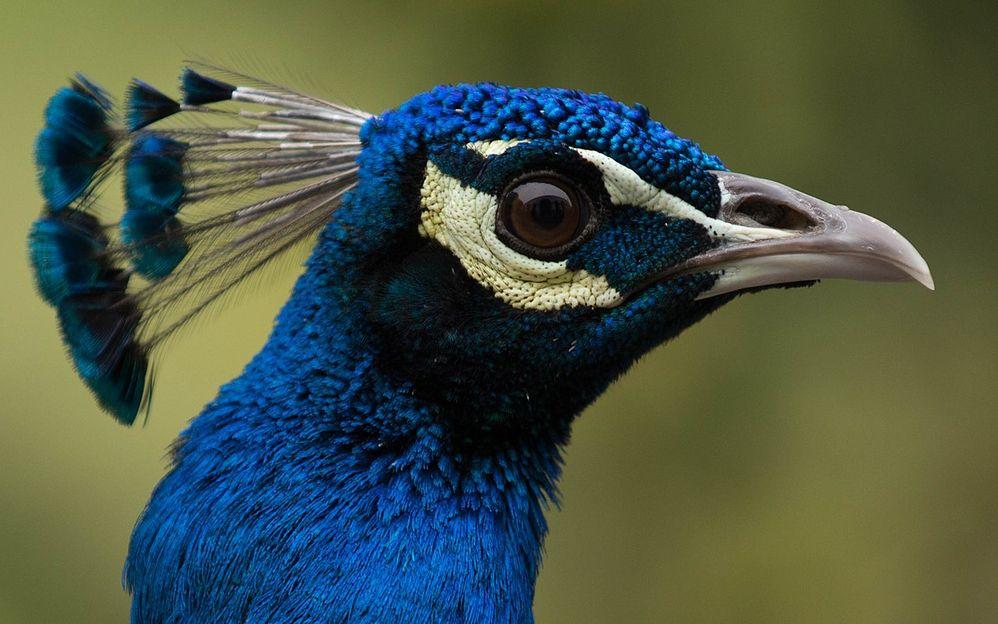 1280px-Peacock-JS.jpg