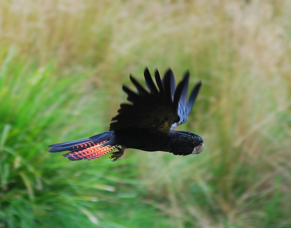 1280px-Red_tailed_Black_Cockatoo_in_flight (1).jpg