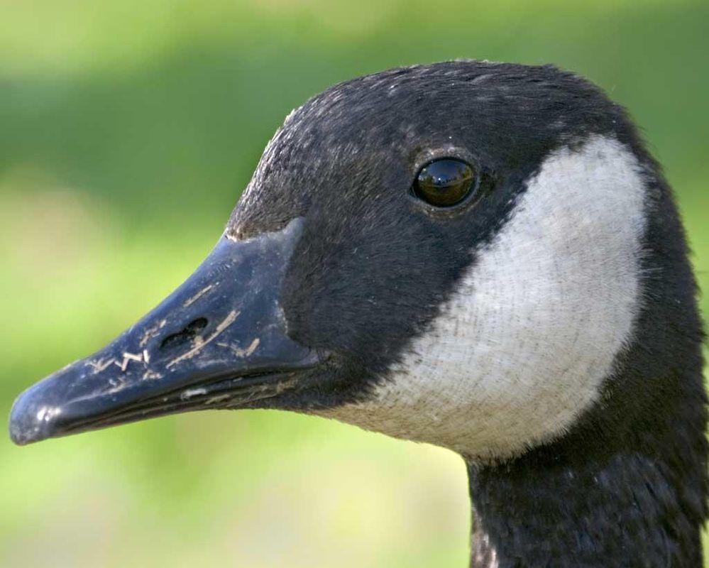 Canada_Goose_b13-38-168_l_1.jpg