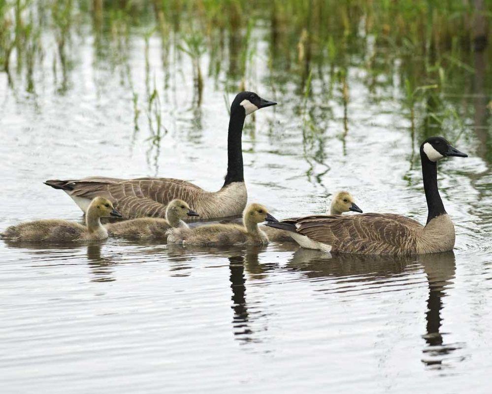 Canada_Goose_c22-39-098_l_1.jpg