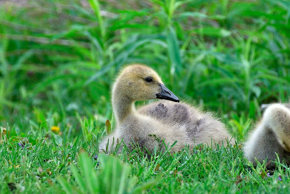 1280px-Canada_Goose_Gosling.jpg