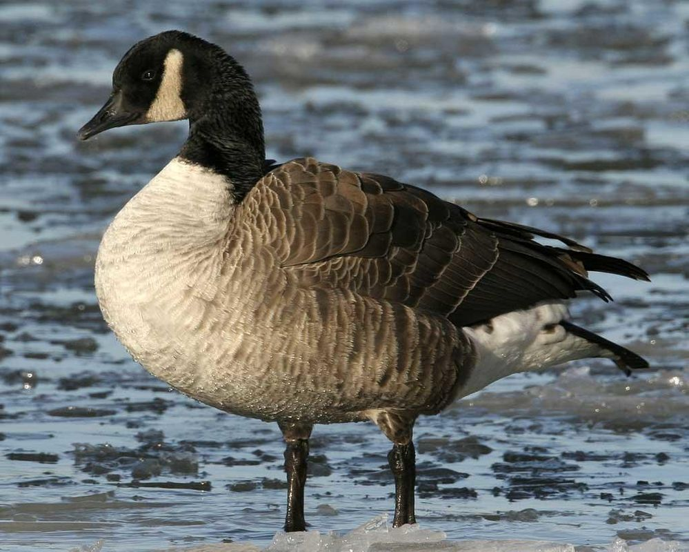 Canada_Goose_n09-1-043_l_1.jpg