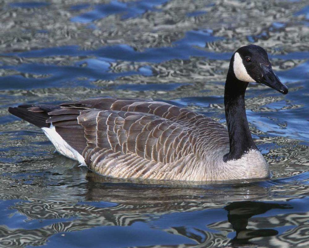 Canada_Goose_c22-32-007_l_1.jpg