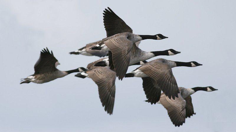 Canada_Goose_(Branta_canadensis)_(5).jpg