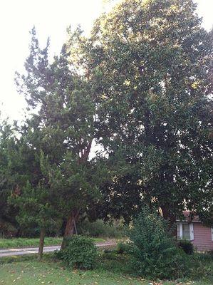 CEDAR TREE leans on MAGNOLIA TREE