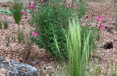 Hummingbird enjoying the salvia